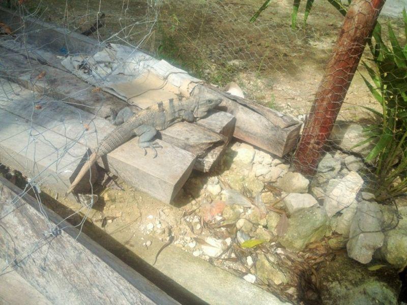Iguana em Akumal