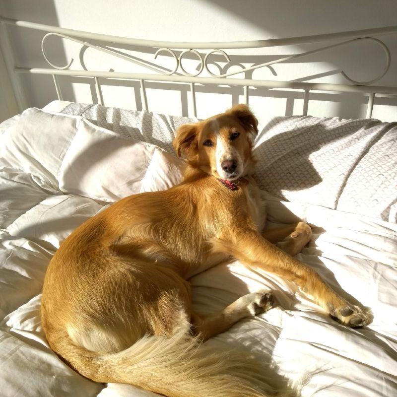 Cachorro SRD deitado no que parece ser uma cama de hotel que aceita cachorro